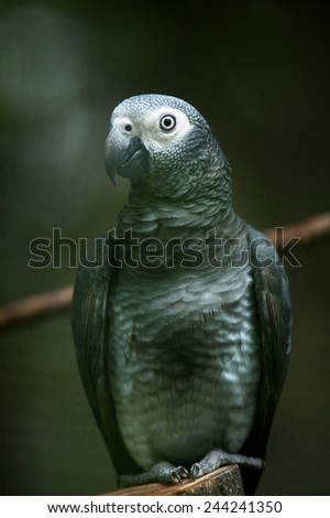 African Grey Parrot Sitting on a Tree Perch - stock photo