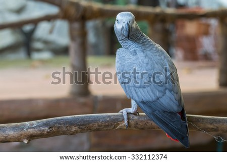 African Grey Parrot sitting on timber at the public park - stock photo