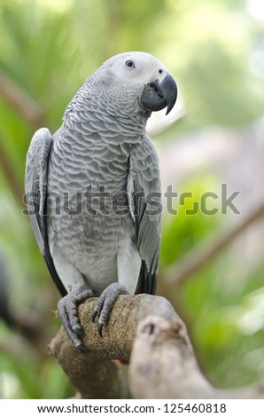 african grey parrot sitting on tree branch, africa - stock photo