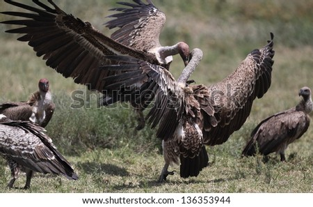 African griffon vultures fighting each other around a carcass in the african savanna - stock photo