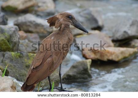 African Hamerkop - stock photo