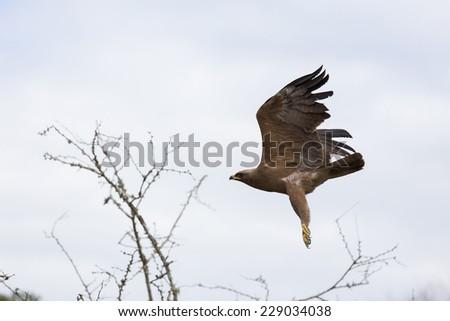 african hawk eagle in flight - stock photo
