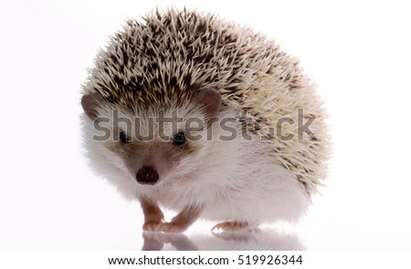 African hedgehog isolated on white