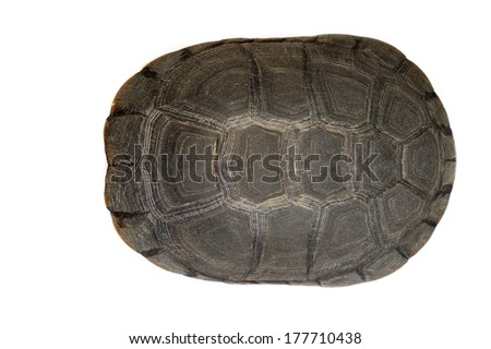 African helmeted turtle - Pelomedusa subrufa isolated on white - stock photo