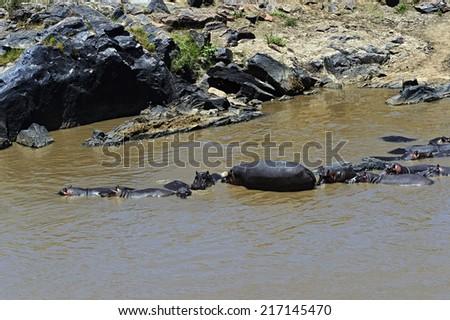 African hippo in their natural habitat. Kenya. Africa. - stock photo