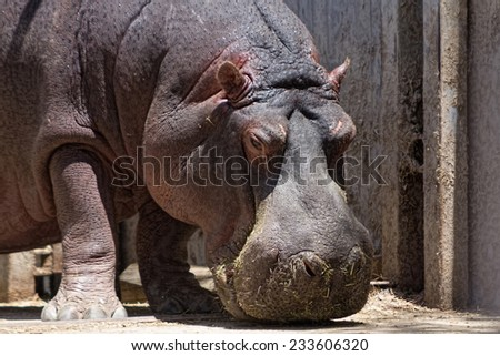 African hippo looking for food - stock photo