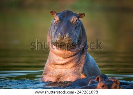 African Hippopotamus - stock photo