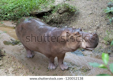 African hippopotamus near a creek - stock photo
