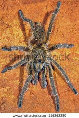 African horned baboon spider (Ceratogyrus sp.), Namibia, southern Africa - stock photo