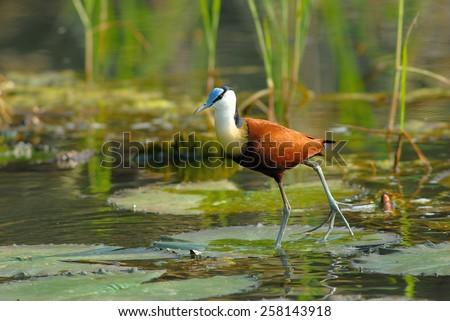 African Jacana (Actophilornis africanus) in Pongolaport Dam, Kwa-Zulu Natal, South Africa - stock photo