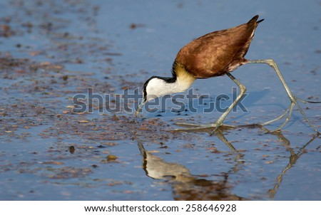 African Jacana Wading for food - stock photo