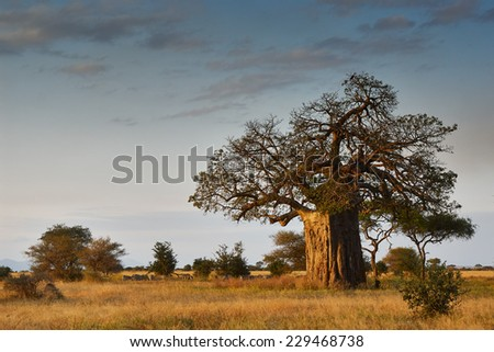 African landscape with a big baobab tree - stock photo