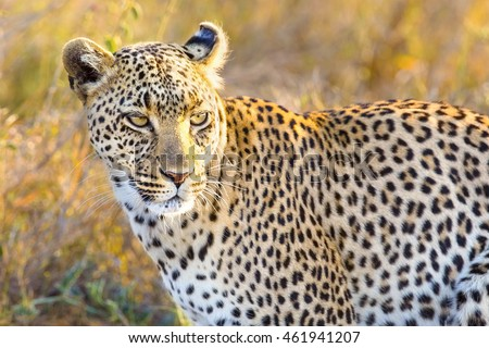 African leopard at the great plains of Serengeti