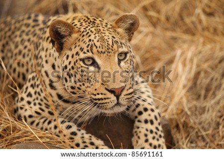 African Leopard closeup on ground - stock photo