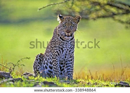 African Leopard in grassland,Masai Mara,Africa - stock photo