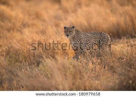 African leopard in Serengeti National Park, Tanzania. - stock photo