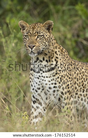 African Leopard in South Africa's Mala Mala Private Game Reserve - stock photo