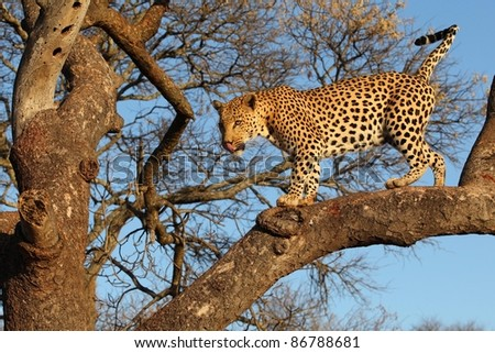 African Leopard in Tree - stock photo
