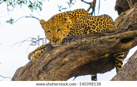 African leopard lays on the tree and tries to sleep - stock photo