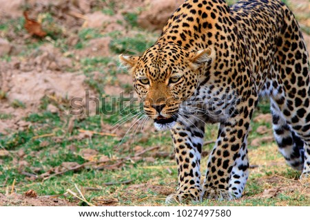 African leopard on the prowl on the open plains in south luangwa national park, zambia, southern africa