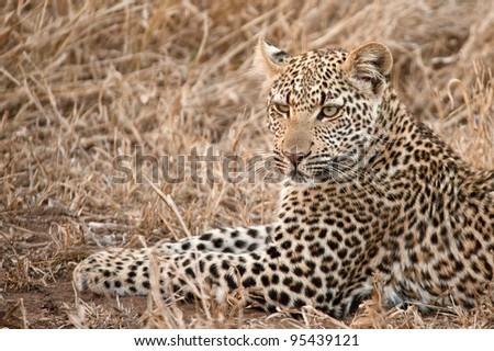African leopard, Panthera pardus - stock photo