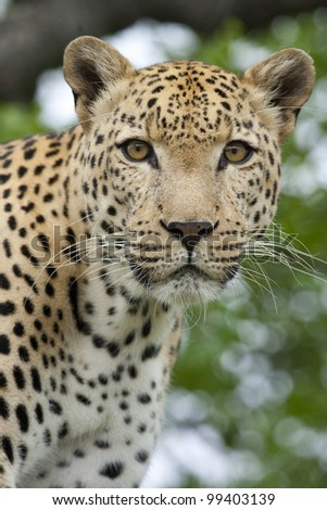 African Leopard Portrait (Panthera pardus), South Africa
