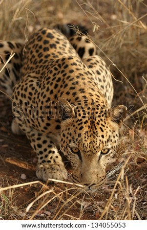 African Leopard prowling