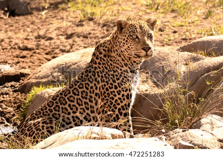 African leopard sitting up alert to his surroundings after drinking from a pool in the dry riverbed.