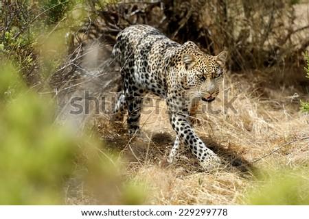 African Leopard stalking or walking, Kenya National Reserve, Africa - stock photo