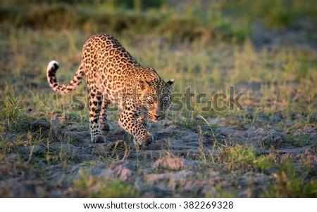 African Leopard stalking prey in Etosha National Park in Namibia - stock photo