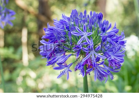 African lily. Agapanthus africanus. Coroas de Henrique. Flor del amor.  - stock photo