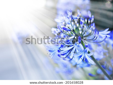 African Lily, Blue flowers with sunshine. Floral background with blue flowers, spring flower, Retro summer background - stock photo