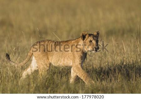 African Lion cub in the Masai Mara in Kenya - stock photo