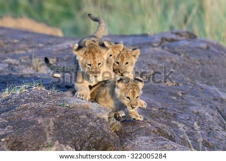 African Lion cub, (Panthera leo), National park of Kenya, Africa - stock photo