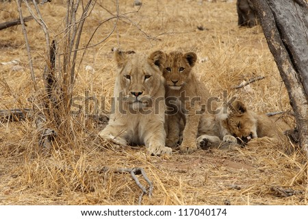 African Lion cubs - stock photo