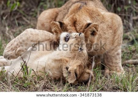 African Lion cubs playing in the Maasai Mara National Park, Kenya - stock photo