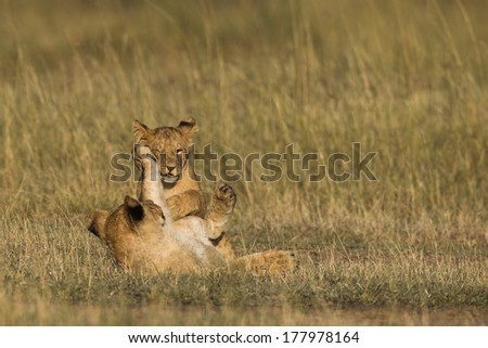 African Lion cubs playing in the Masai Mara - stock photo