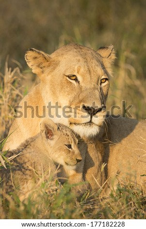 African Lion female and her cub in South Africa's Mala Mala Game Reserve - stock photo