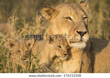 African Lion female and two cubs in South Africa's Mala Mala Game Reserve - stock photo