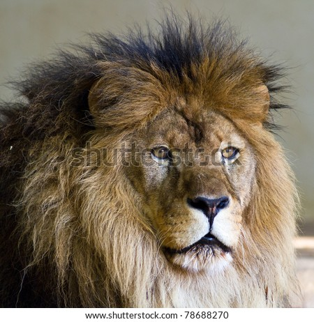 African Lion Head and Mane - stock photo