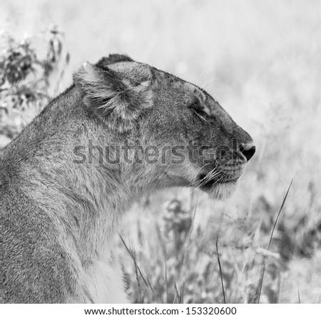 African lion in Masai Mara National Park - Kenya (black and white) - stock photo