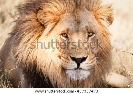 African lion in Savannah in Zambia