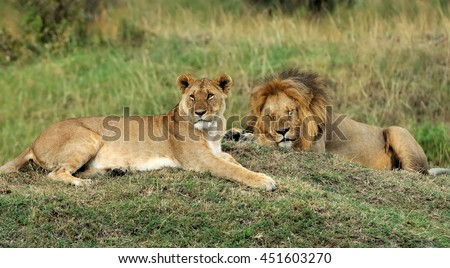 African lion in the National park of South Africa - stock photo