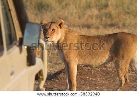african lion in wildlife