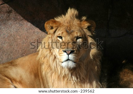 African lion, king of the jungle