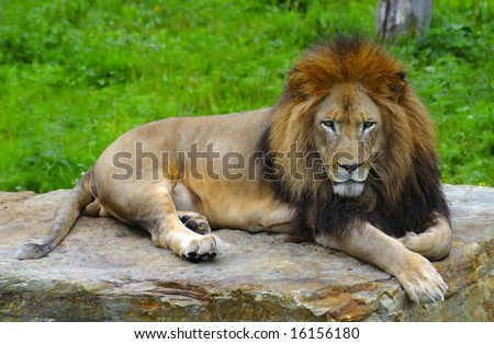 African lion lying on a flat stone