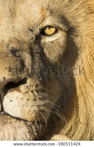 African lion male close up South Africa - stock photo