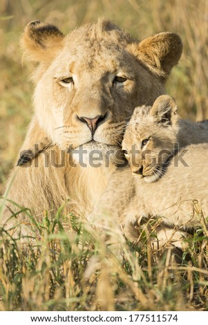 African Lion male with cubs South Africa - stock photo