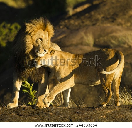 African lion,Panthera leo,  lioness, female, greeting male, black-maned lion, on kopje, Masai Mara Game Reserve, Kenya, East Africa - stock photo