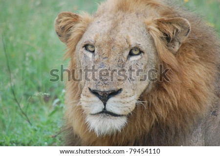 African Lion (Panthera leo) male in Kruger National Park, South Africa